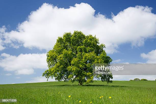 Lone Oak Tree in Meadow