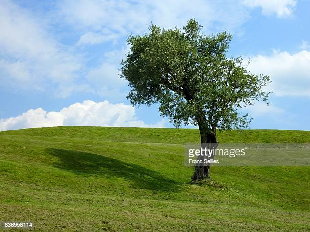 Lone olive tree in landscape