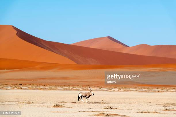 lone oryx and the sossus dunes, namibia - namib naukluft national park stock pictures, royalty-free photos & images