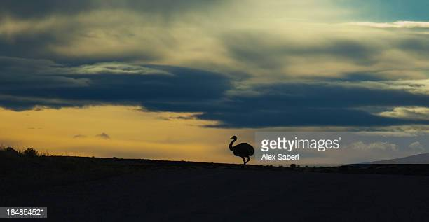 a lone ostrich in torres del paine national park at sunset. - alex saberi stock pictures, royalty-free photos & images