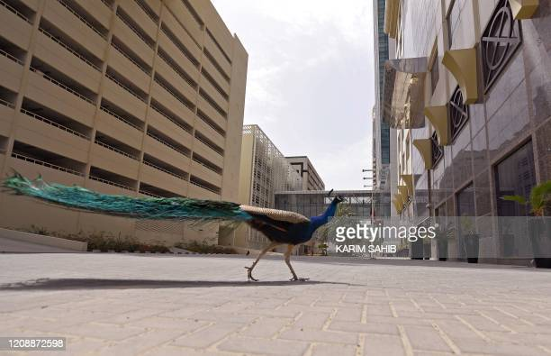 A lone peacock walks along a street past shops closed during the COVID19 coronavirus pandemic in Dubai on April 1