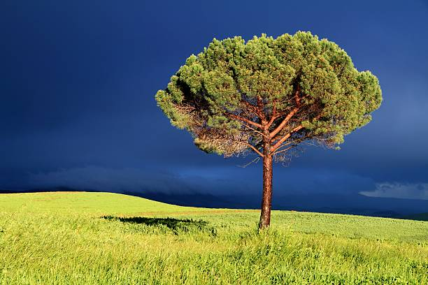 Lone pine tree between sun and storm