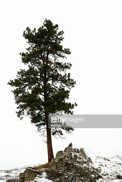 A lone pine tree on the top of a snowy hill in winter