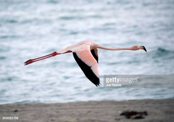 A lone pink flamingo flies along Haulover Beach on May 17 2018 in Miami Beach Florida Lifeguards on the beach said that the flamingo showed up on...