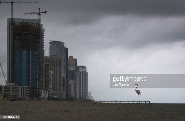 A lone pink flamingo is seen as it walks along Haulover Beach on May 17 2018 in Miami Beach Florida Lifeguards on the beach said that the flamingo...