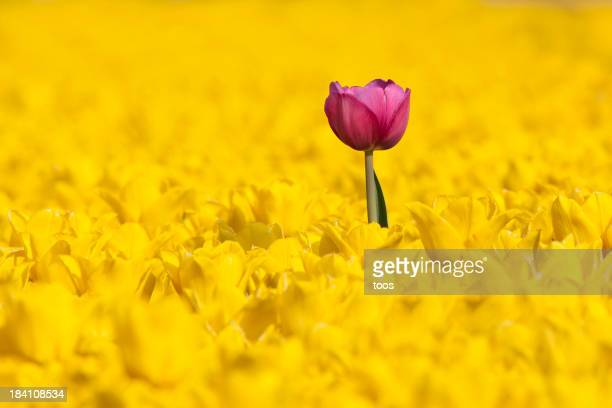 Lone pink tulip in a sea of yellow tulips