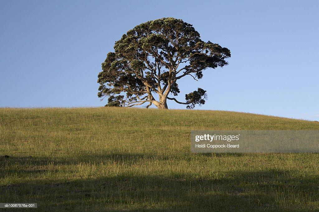 Lone pohutukawa tree and grassy hill : Stock Photo