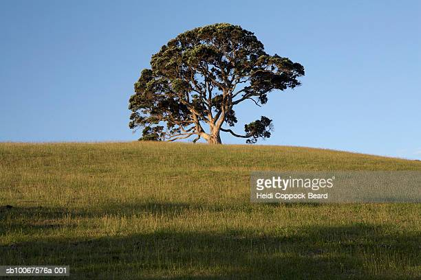 lone pohutukawa tree and grassy hill - heidi coppock beard stock pictures, royalty-free photos & images