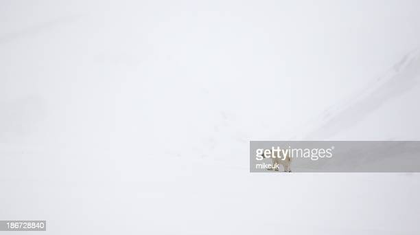 lone polar bear cub walking in snow at Svalbard