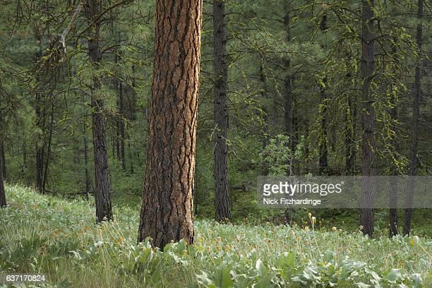 A lone ponderosa pine, pinus ponderosa, amongst subalpine fir, abies lasiocarpa in the White Lake Grasslands Protected Area, South Okanagan Valley, British Columbia, Canada