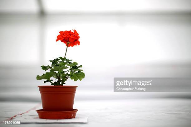 Lone potted flower sits in the marquee as exhibitors prepare for the Southport Flower Show on August 14, 2013 in Southport, England. The annual show...