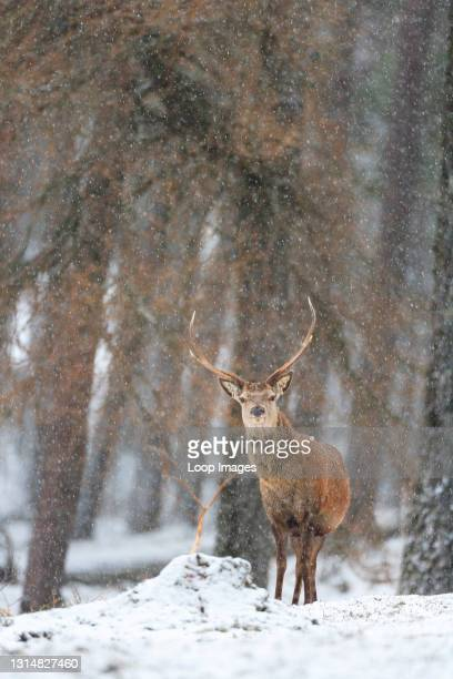 Lone Red Deer stag in the forest during a snow fall.