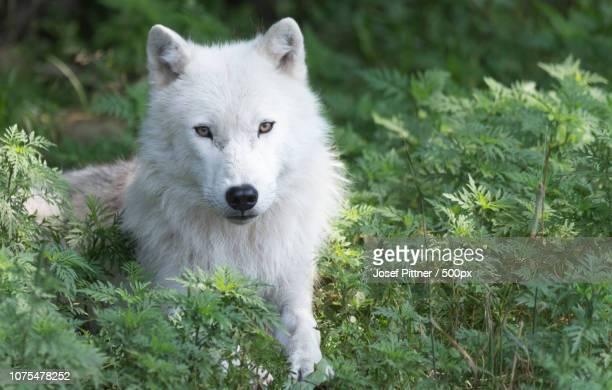 a lone resting arctic wolf - loup blanc photos et images de collection