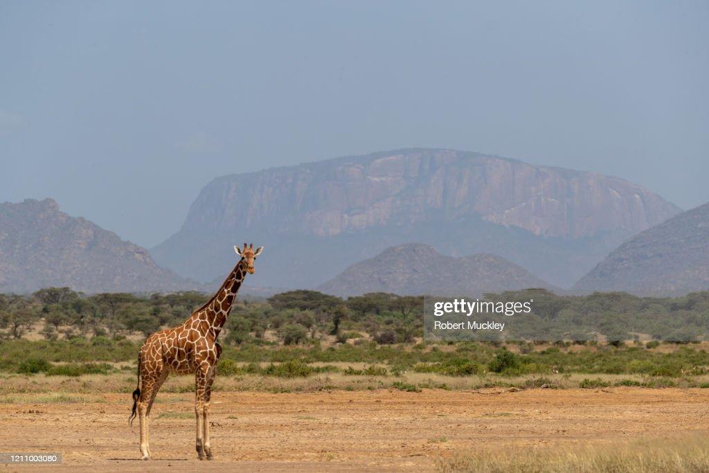 Giraffe (Giraffa Camelopardalis). Silhouette, front