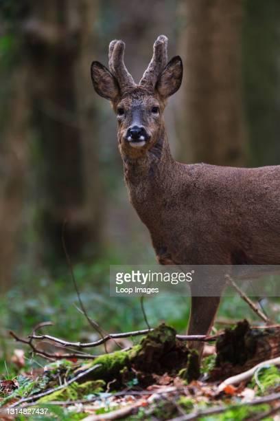 Lone Roe Deer buck in its Winter coat.