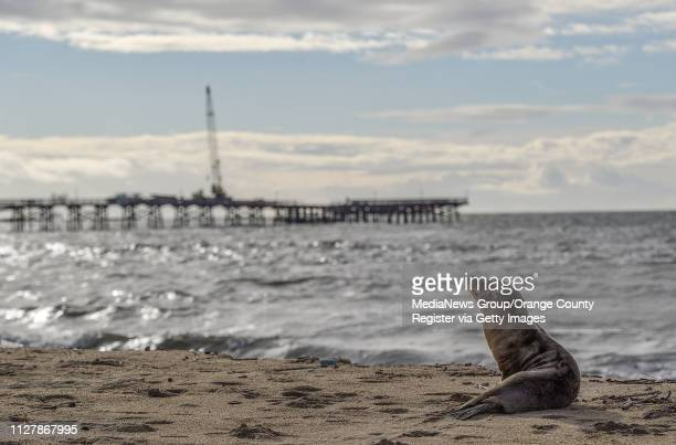 A lone sea lion sits on the sand north of the pier in Seal Beach CA on Monday Feb 4 2019