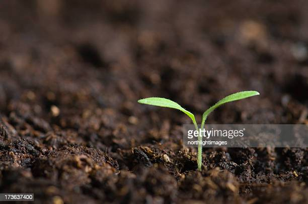 lone seedling emerging from soil - seedling stock pictures, royalty-free photos & images