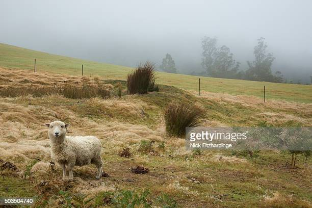 A lone sheep watches closely from a paddock, Lucaston, Tasmania, Australia
