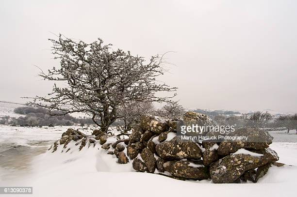 Lone snow covered hawthorn tree and dry stone granite wall at Emsworthy on Dartmoor