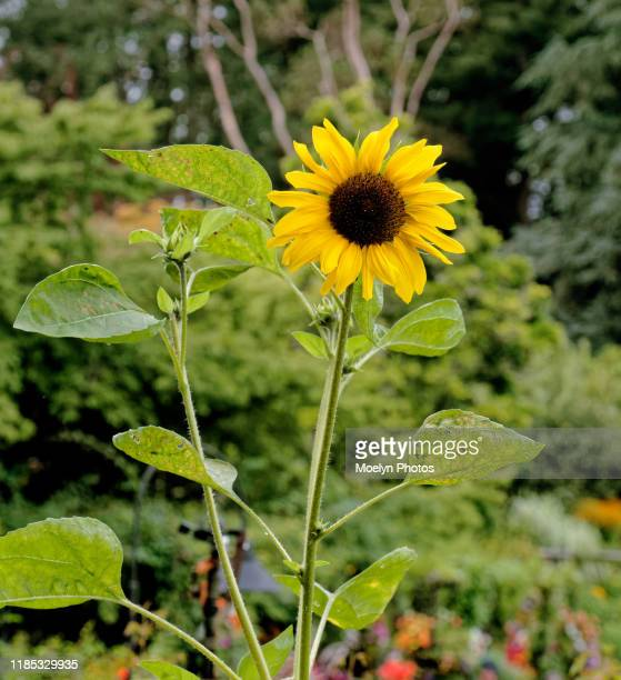 lone sunflower on long stem - long stem flowers stock pictures, royalty-free photos & images