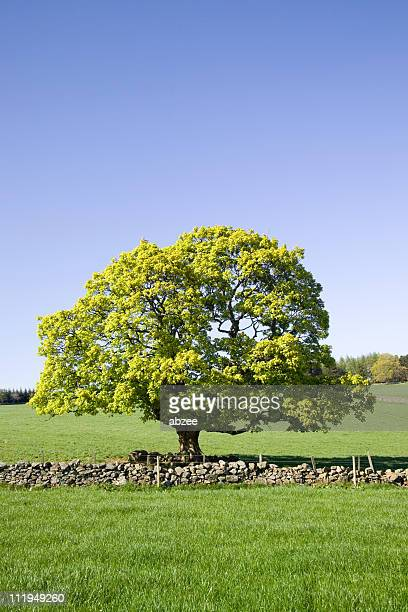 lone sycamore tree in spring sunshine - sycamore tree stock photos and pictures