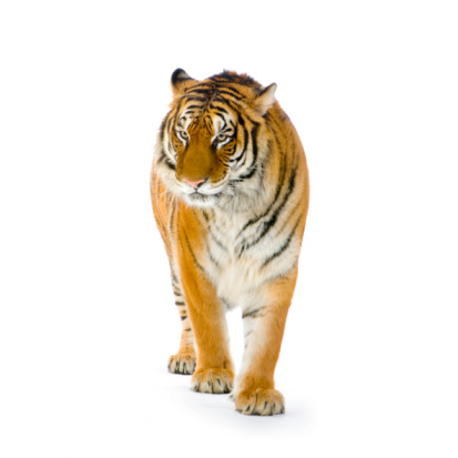 Lone tiger with orange and white stripes on white backdrop 93209607