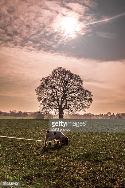 lone tree and solar eclipse, march 2015 - bare tree stock pictures, royalty-free photos & images