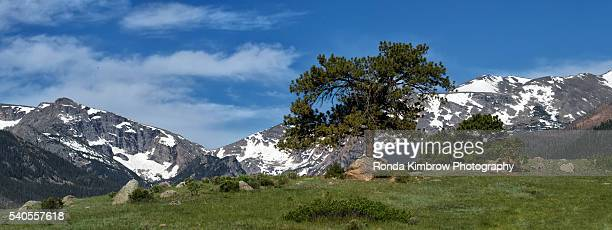 A Lone Tree and the Continental Divide