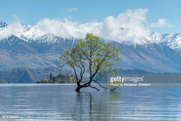 Lone tree at Lake Wanaka in spring, South island, New Zealand
