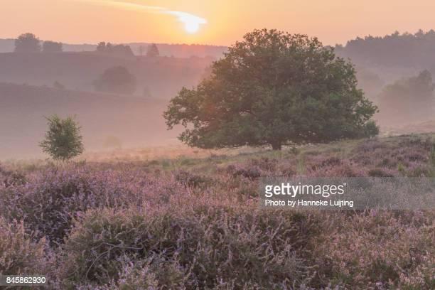 lone tree at sunrise, veluwezoom national park - posbank ストックフォトと画像