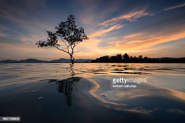 Lone tree at sunset time in Phuket