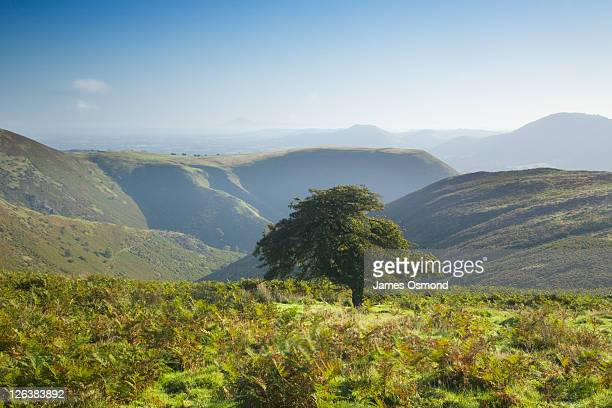 Lone tree at the edge of Carding Mill Valley on The Long Mynd, Shropshire, England, UK In the distance is The Wrekin,