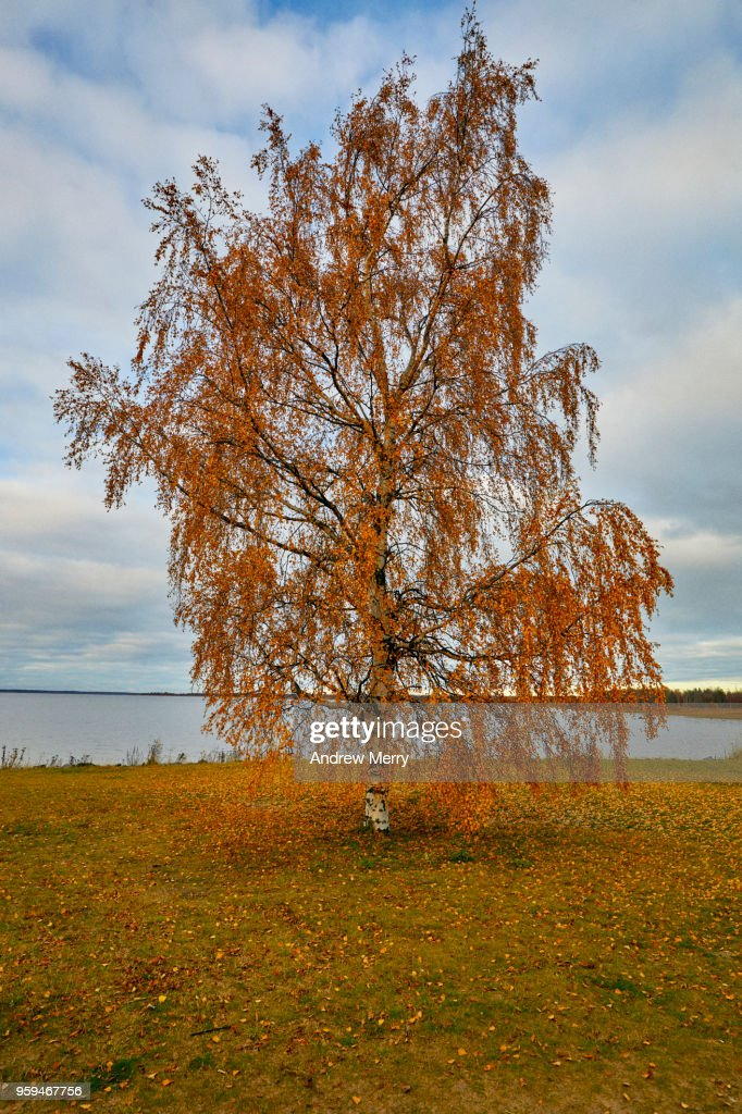 Lone tree by the ocean, Autumn in Oulu, Finland : Stock Photo
