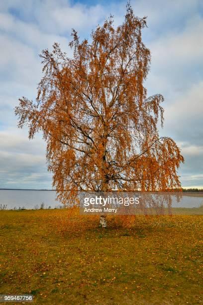 Lone tree by the ocean, Autumn in Oulu, Finland