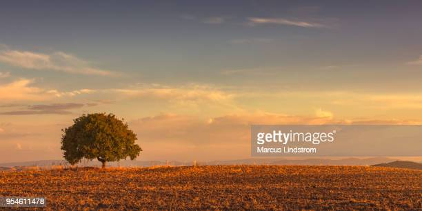 lone tree in a field - single tree stock pictures, royalty-free photos & images