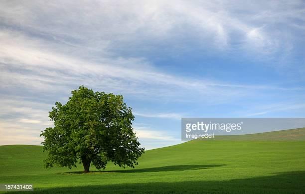 Lone Tree in a Rolling Green Field