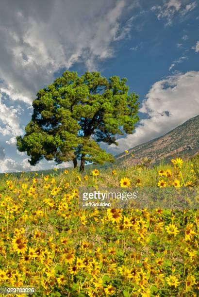 Lone Tree in a Sunflower Field
