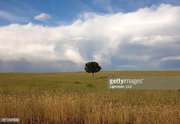 Lone Tree in Colorado Plains