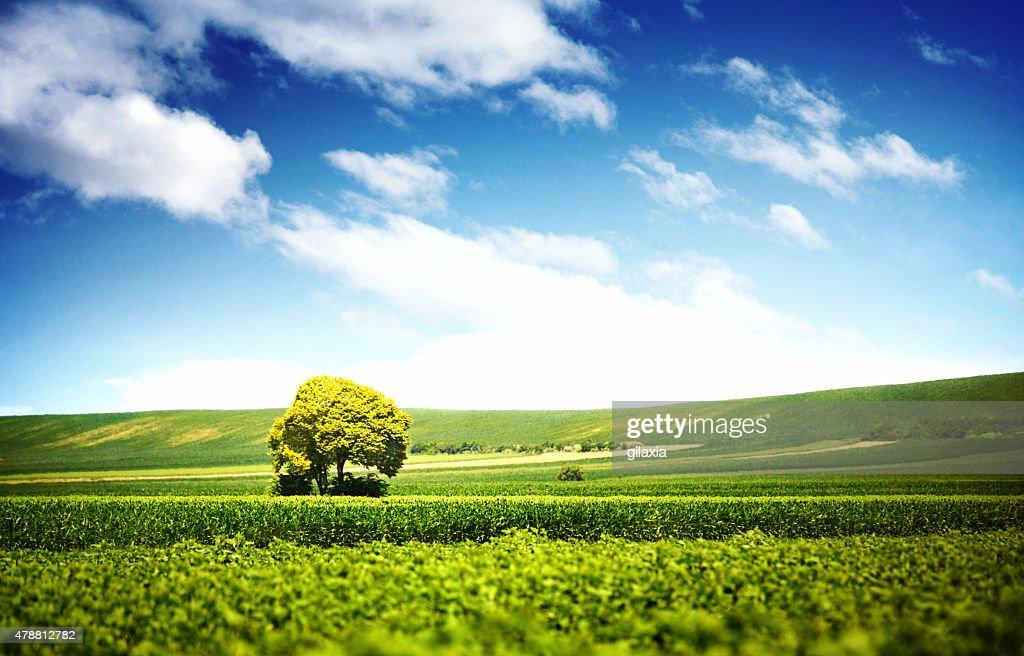 Lone tree di colture. : Foto stock