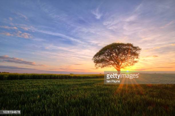 lone tree in field - single tree stock pictures, royalty-free photos & images