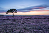 lone tree in heather