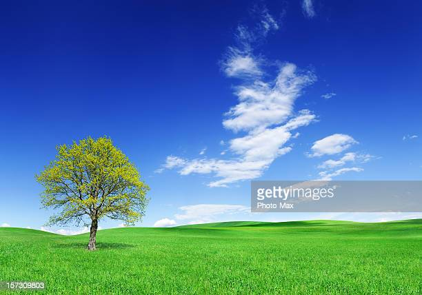 Lone tree in mown green field with sparsely clouded blue sky