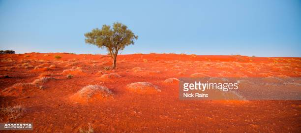 Lone Tree in Simpson Desert at Cravens Peak Reserve