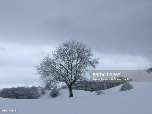 lone tree in snowy landscape - ash tree bildbanksfoton och bilder