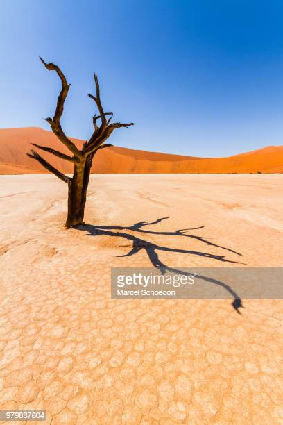 lone tree in sossusvlei at namib-naukluft national park, namibia - namib naukluft national park stock pictures, royalty-free photos & images