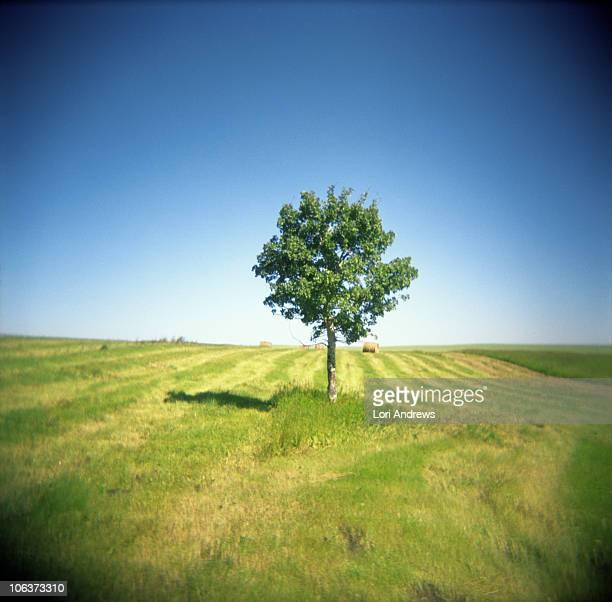 lone tree in summer farmers field