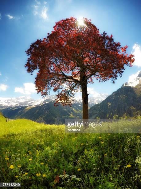 Lone tree in the mountains, Spiringen, Uri, Switzerland