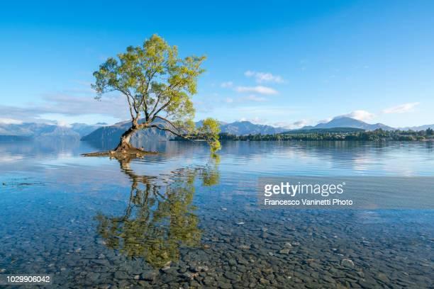 lone tree in wanaka lake, new zealand. - wanaka - fotografias e filmes do acervo