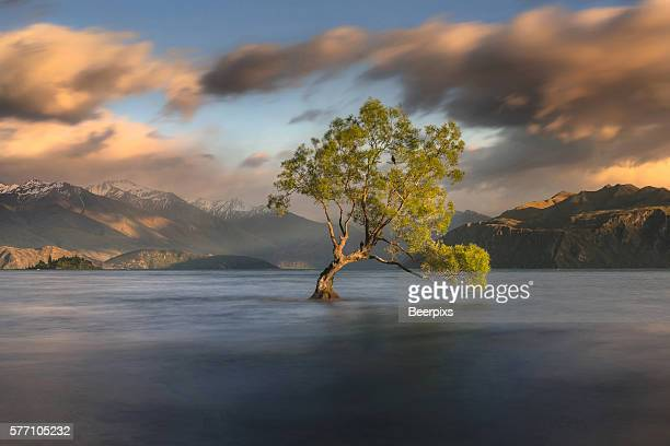 Lone tree is in Lake Wanaka at sunrise, New zealand.