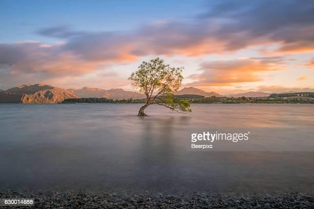 lone tree is in lake wanaka at sunrise, new zealand. - wanaka - fotografias e filmes do acervo